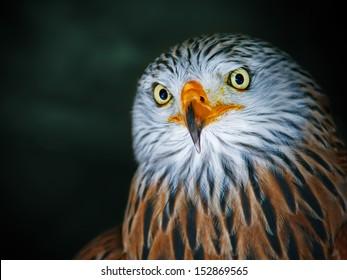Red Kite Portrait (Milvus milvus)