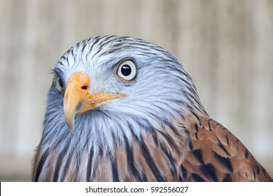 Red Kite: Reintroduced into Oxfordshire these fabulous birds are flourishing across the south of England now