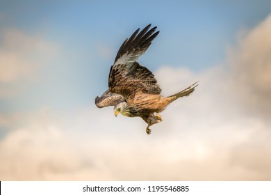 Red Kite swooping in for a catch in Llanddeusant, Brecon Beacons Wales UK