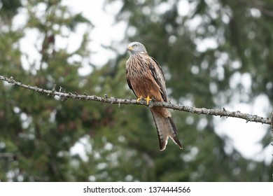 red kite in the wild