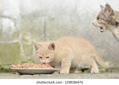 red kitten eat cat food on front of shed