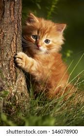 Red kitten - evening walk