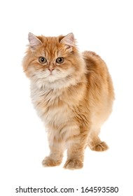 red kitten standing isolated