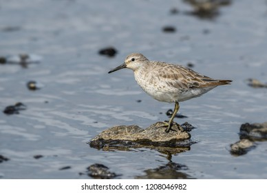 Red Knot - Calidris canutus, beautiful wader from European water shores, Shetlands, Scotland, UK.