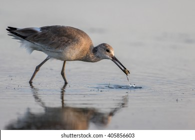 Red Knot (Calidris canutus) Foraging, San Carlos Bay, Bunche Beach Preserve, Florida