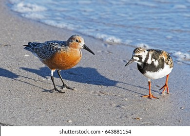 Red Knot and Ruddy Turnstone on Beach