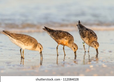 Red Knots feeding in the surf