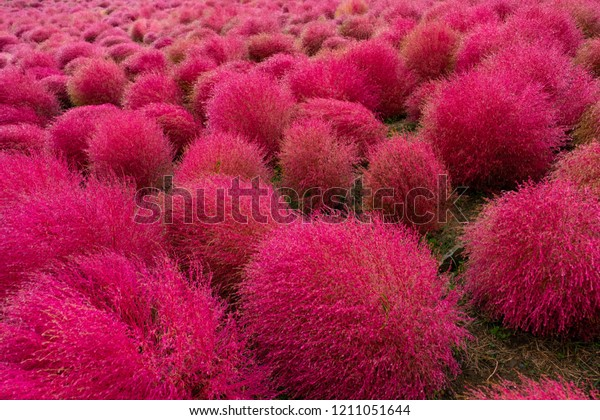Red Kochia Scoparia Bush On Hill Stock Photo Edit Now 1211051644