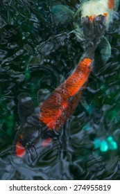 Red koi carp swimming