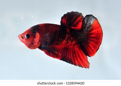 red koi plakat betta fish