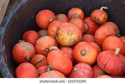 A lot of Red Kuri (Hokkaido) Squash for sale. Octerber time for pumpkin