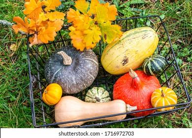 red kuri squash, butternut squash, spaghetti squash and decorative gourd in a garden