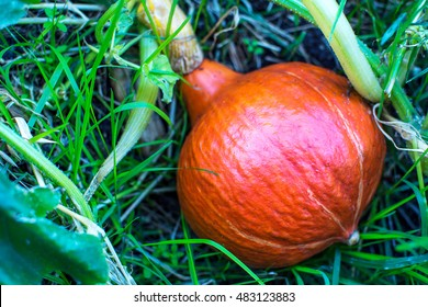 Red kuri squash growing in garden. Cultivated fresh vegetables. Ripe pumpkin in vegetable garden