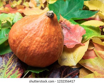 A Red kuri squash (seasonal vegetable) is placed on autumn leaves in green, red, orange and yellow colours. Close-up.