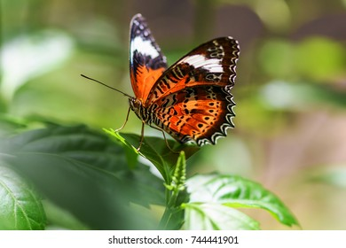 Red Lacewing Butterfly - The butterflies have wings that are scarlet with broad black margins and diagonal white stripe on the forewings.