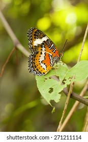 Red lacewing butterfly, Cethosia biblis, perched on leaf