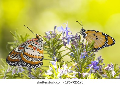 Red lacewing butterfly on rosemary macro shot