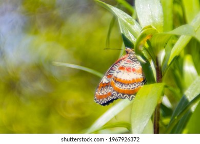 Red lacewing butterfly resting on lily plant