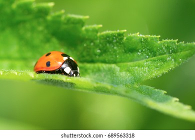 Red ladybug with black dots resting on a green leaf