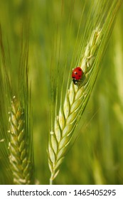 Red ladybug in the cereals (on the ear of  triticale), green background