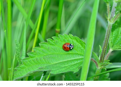 Red Ladybug  (  Coccinellidae  )   on leaf  in green nature  with many copy space