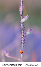 A  red Ladybug   (  Coccinellidae  )  on plant with many aphids and copy space
