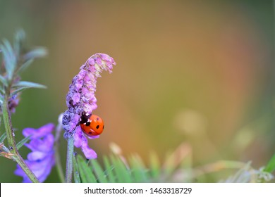 A  red Ladybug   (  Coccinellidae  )  on plant in nature with aphids and many copy space