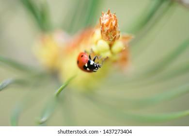 Red ladybug (Coccinellidae) sitting on pine tree macro