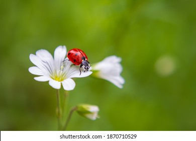 A red ladybug crawls on a plant in a meadow.