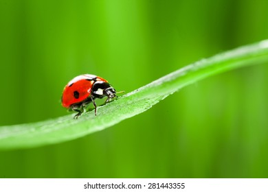 red ladybug on green grass. studio shot