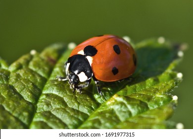 A red ladybug sits on a green leaf on a hot and sunny summer day.
