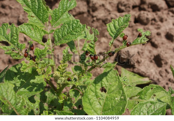 Red larvae of the Colorado beetle  (Leptinotarsa decemlineata) eats green leaves of a young potato plant.