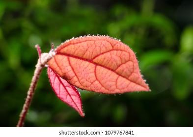 red leaf of bonsai loropetalum chinense