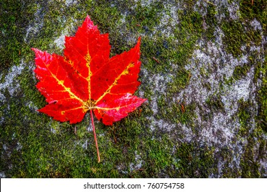 Red Leaf in Great Smoky Mountains National park