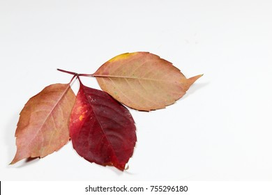 Red Leaf isolated for graphics desings