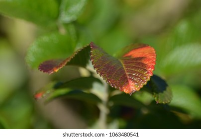red leaf nature