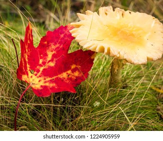 A red leaf on grass on the ground next to a mushroom