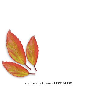 Red leaf on white background