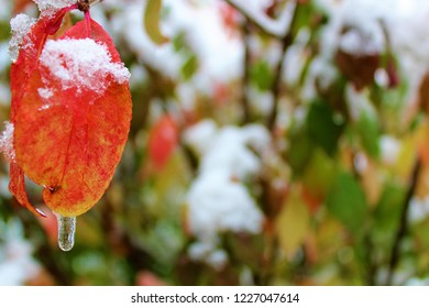 red leaf with snow and ice
