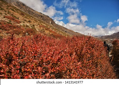 Red leaf , snow mountain and blue sky at nepal treking.