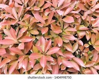 Red leaf texture. Leaf texture background