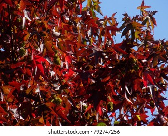 Red Leaf Tree.