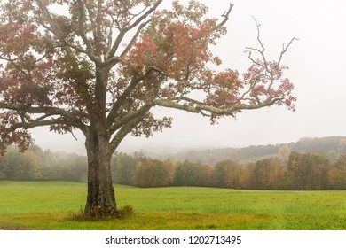 A red leafed maple trees on the crest of a hill off Jewitt Heights Road on a misty, rainy Autumn day in the Catskills Mountains in Jewitt, New York