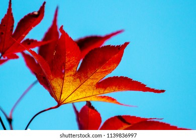 Red leafs with a blue sky