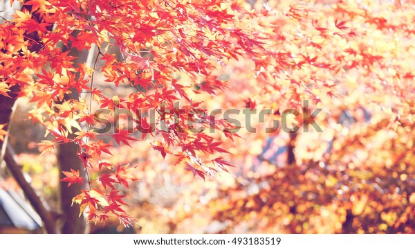Red Leafs Maple