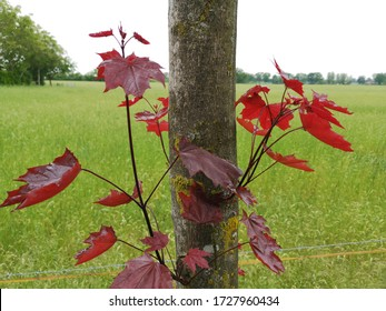 red leafs on a maple tree in front of a green meadow in neutral light