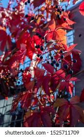 Red leafs of Parthenocissus quinquefolia