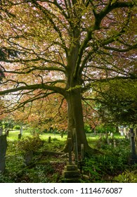 Red leaved beech tree in a churchyard