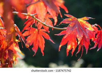 Red leaves of Acer Palmatum or Japanese maple in Autumn