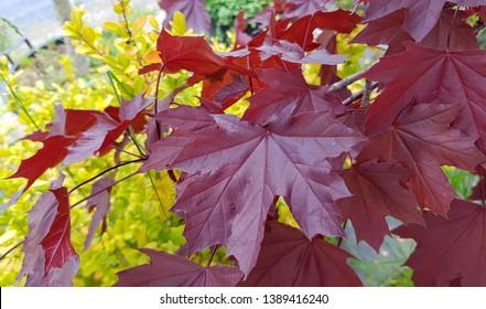 Red leaves Acer platanoides 'Crimson King 'Crimson King